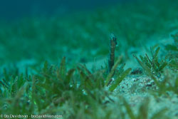BD-121127-Aqaba-7361-Trachyrhampus-bicoarctatus-(Bleeker.-1857)-[Double-ended-pipefish].jpg